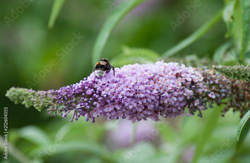 closeup of bee on Buddleja davidii flower - 212604355