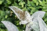 Spinnenbabys der Gartenkreuzspinne in einem Netz - 212605957
