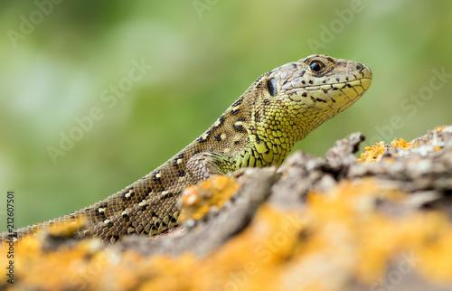Fototapeta Zauneidechse - Lacerta agilis