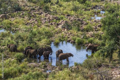 Fototapeta African bush elephant in Kruger National park, South Africa