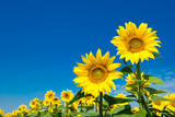Sunflower field with cloudy blue sky - 212614341