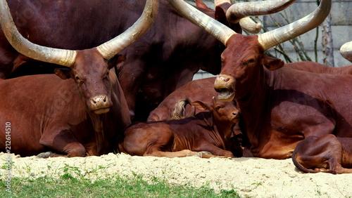 Watussi - groźne krowy z ogromnymi rogami pilnują swoje młode ciele