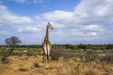 Giraffe in Kruger National park, South Africa © UTOPIA