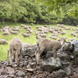 lamb and sheep on rocks near green grassy meadow in national park des ecrins of haute provence in the french alps
