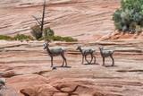 Desert bighorn sheep family in Zion National Park, Utah - USA - 212622972