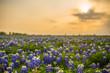 Texas wildflower fields