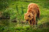 European brown bear - 212637594
