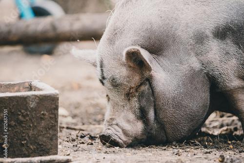 Vietnamese pig - 212637551