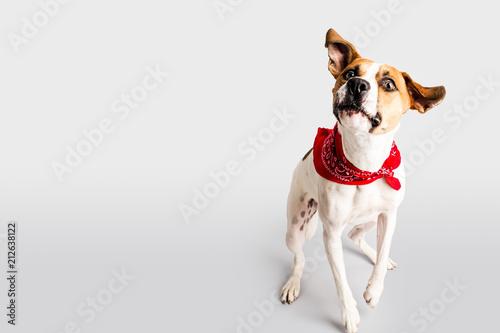 Adorable hound with bandana - 212638122