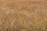 Barley - 212647519