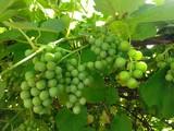 Виноград зелёный