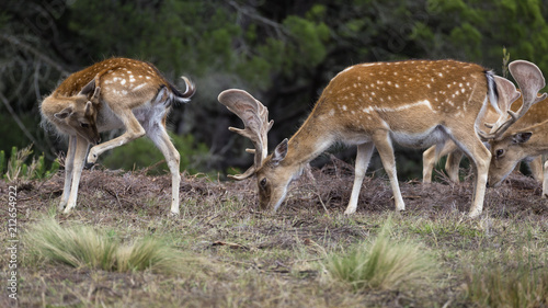 Fotobehang Hert Deer (Cervus dama) in the wild. wildlife and animal photo.