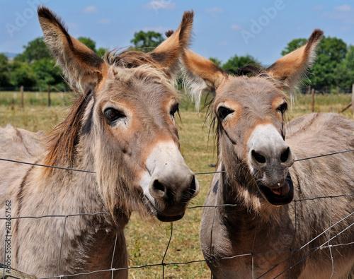 Fotobehang Paarden Talking Donkeys