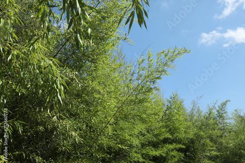 Fototapeta bambou