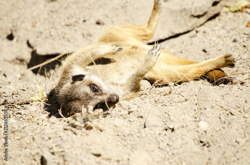 Sticker Meerkat Lying in the Sand