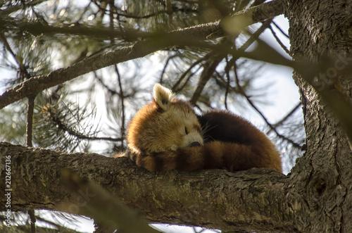 Plexiglas Panda Red Panda Sleeping in a Tree