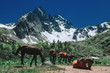 Horses near mountains with snow. Beautiful nature landscape green forest