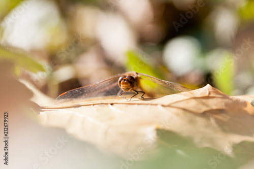 Brown dragonfly with macro details on an autumn leaf  - 212679923