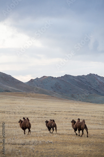 Aluminium Kameel three camels in the steppe against the backdrop of the mountains