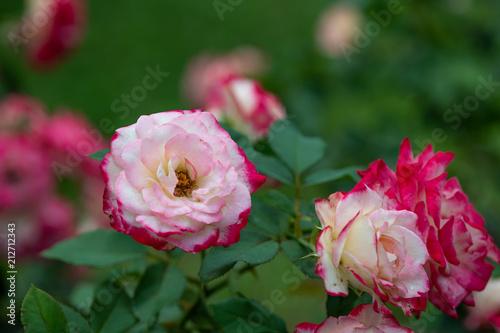赤と白のばら「ジュビレデュプリンス ドゥモナコ」の花のアップ