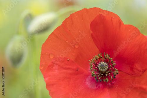 Foto Spatwand Baksteen closeup of bright red poppy flower in green summer field