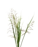 Cane grass reeds isolated on white background, clipping path - 212731380