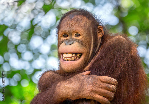 Sticker Beautiful smile of a male orangutan.