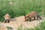 Protrait de 2 jeunes renards - 212743147