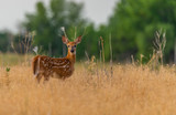 A Beautiful White-tailed Deer Fawn in a Meadow  - 212743512