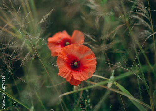 Fotobehang Klaprozen red poppies growing field green spike agriculture