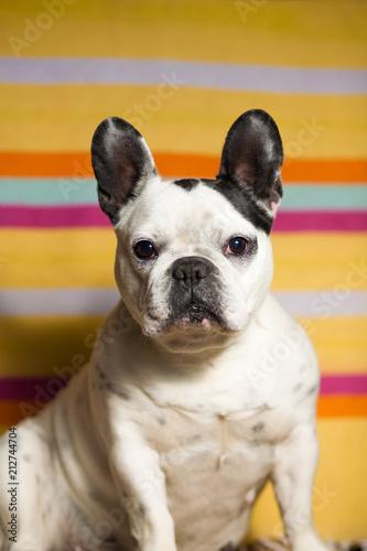 Foto Spatwand Franse bulldog Dog portrait