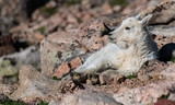 Adorable Baby Mountain Goat Lamb At The Top Of Mount Evans