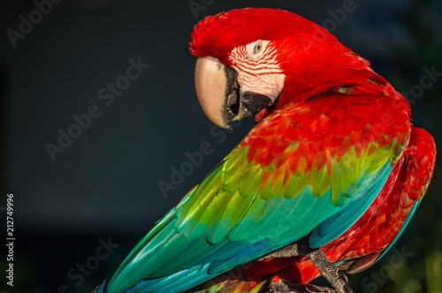 Fotobehang Papegaai Red macaw