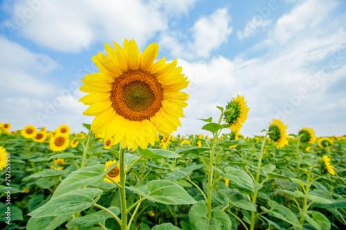 Fotobehang Zomer Sunflowers summer nature landscape