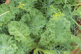 Young bright blooming dill with heirloom curly kale plant with green sturdy leaves and garlic sprouts, edible companion herbs grown in a container on a balcony, on a sunny summer day	 - 212764172
