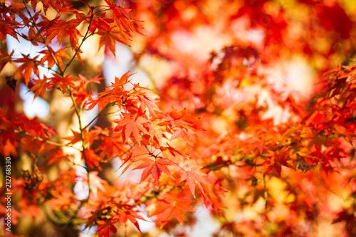 Plexiglas Rood 橙色の葉