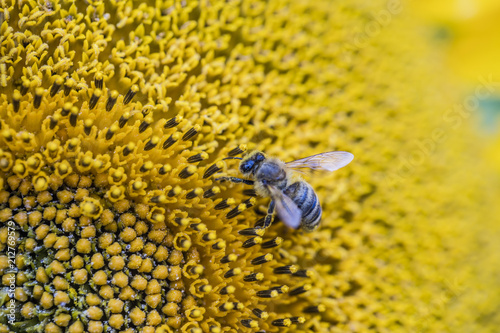 Fototapeta bee collecting pollen nectar on sunflower