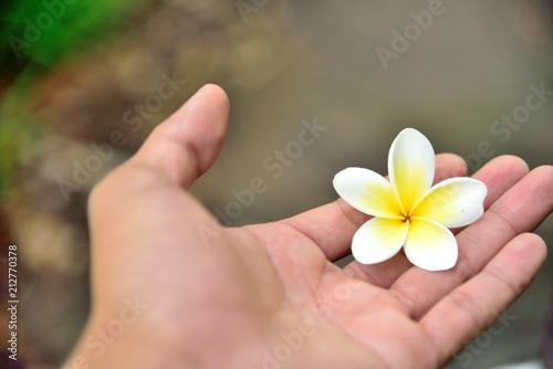 Plexiglas Plumeria White Plumeria flower in hand holding