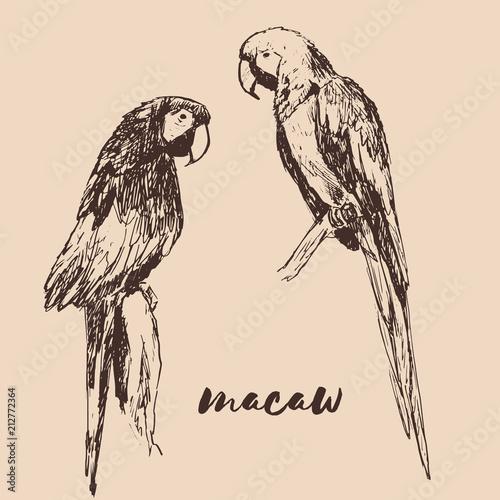 Fototapeta Vector sketch of macaw