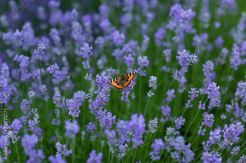 A mass of lavender blooms with a British red admiral butterfly settled onto a flower feeding    - 212775777