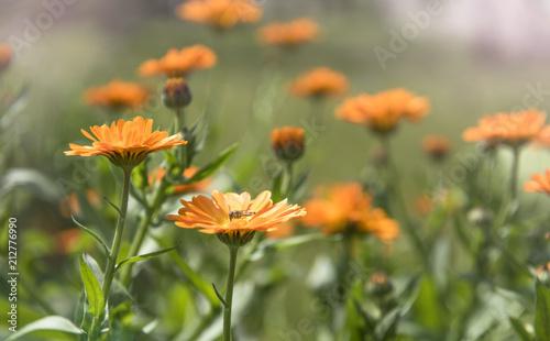 Ringelblume - Marigold - Calendula officinalis