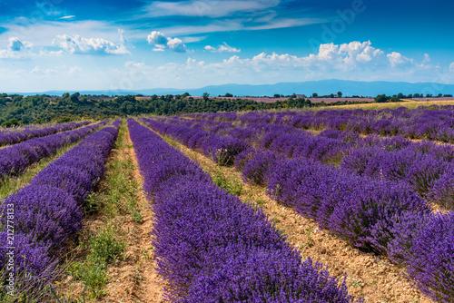 Fotobehang Lavendel Champs de lavande sur le Plateau de Valensole en Provence