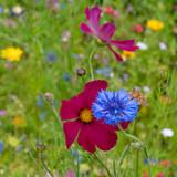 Blue cornflower in a meadow in Traunstein region, Germany