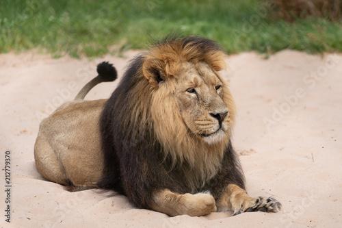 Foto Spatwand Lion Lion