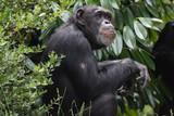chimp thinking - 212779531
