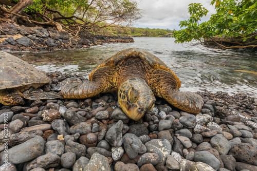 Fototapeta Green Sea Turtle on a Maui Beach