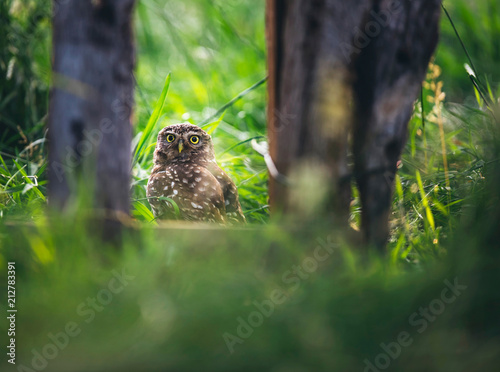 Aluminium Natuur Little owl in tall grass between bars of old wooden fence.