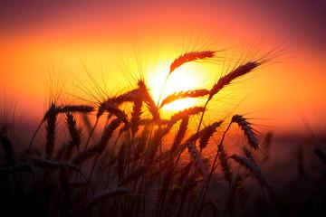 Silhouette of wheat ears against sunset © Sergiy Bykhunenko