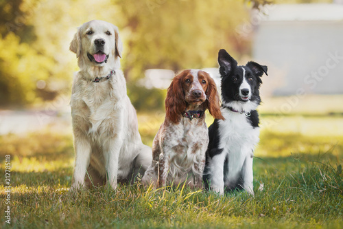 dog pet Golden Retriever Spaniel Border Collie - 212785118