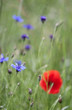 cornflower and lonely poppy